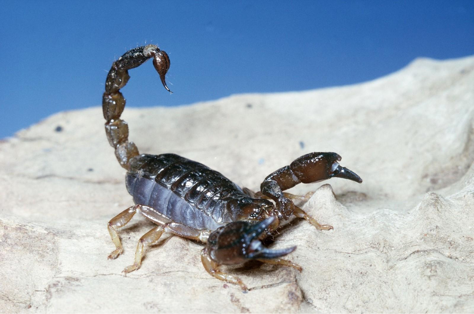 них картинки древесных скорпионов конце пищевой краситель
